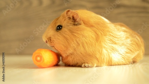 cavy golden eats carrots