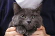 british shorthair cat pleads