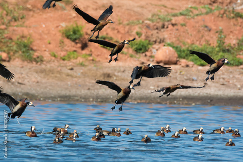Flock of White-faced Whistling Ducks ( Dendrocygna viduata)