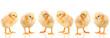 baby chicken on white