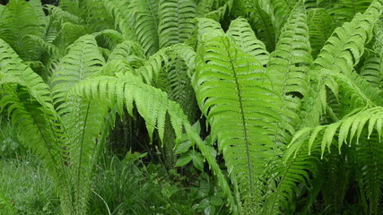 intensive rain fall on fern plant leaves in spring forest