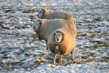 Schapen hebben het warm door hun wol in de winter
