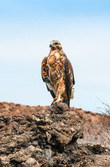 Galapagos Hawk perching on a rock.