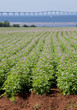 Potato Field on Prince Edward Island