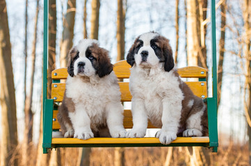 Two saint bernard puppies siting on the seesaw
