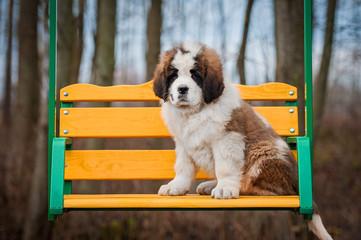 Saint bernard puppy siting on the seesaw