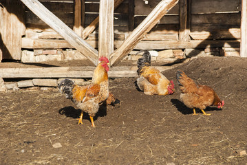 Rooster and hens in rural barn yard