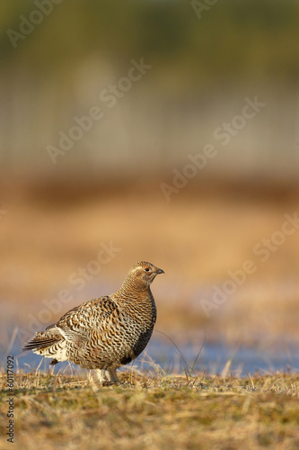 Black grouse, Tetrao tetrix