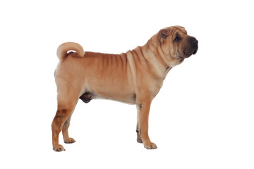 Beautiful Shar Pei Dog Breed