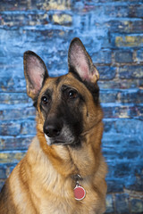 German Shepherd Dog Blue Background