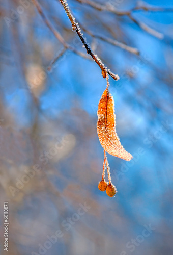 Frozen branch of lime tree