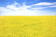 yellow  flower field and blue sky in spring