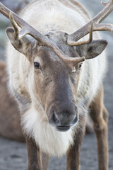 reindeer portrait in winter time