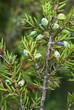Juniperus communis alpina,Genévrier des Alpes