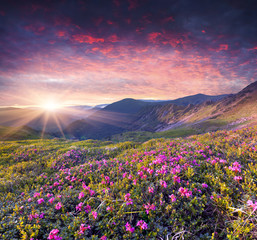Magic pink rhododendron flowers in the summer mountain.