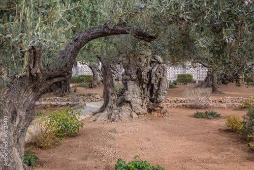 Keuken foto achterwand Olijfboom Gethsemane gardens