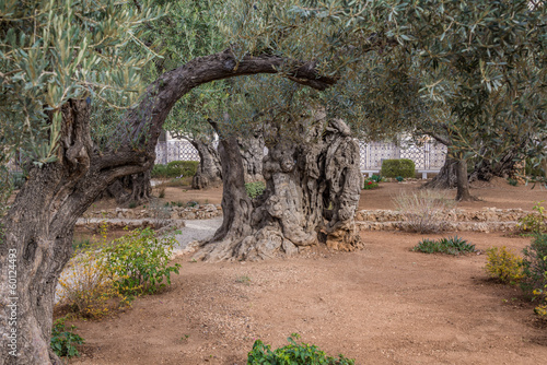 Staande foto Olijfboom Gethsemane gardens