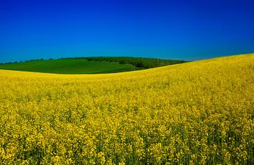 Blossom rape field