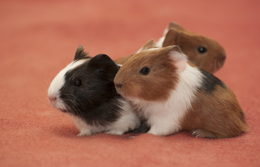 Small guinea pigs