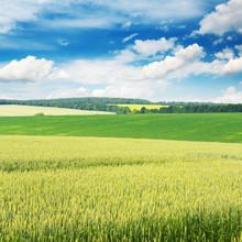 pola pszenicy i błękitne niebo