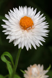 White English daisy (Bellis perennis)