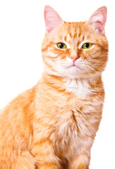 Red cat on a white background, isolated