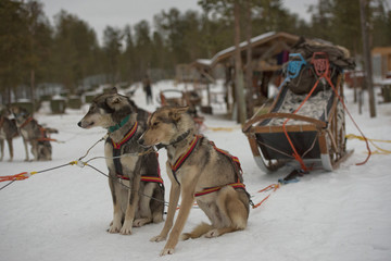 sledding with sled dog in lapland in winter time