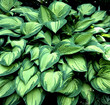 canvas print picture - Funkie, Hosta