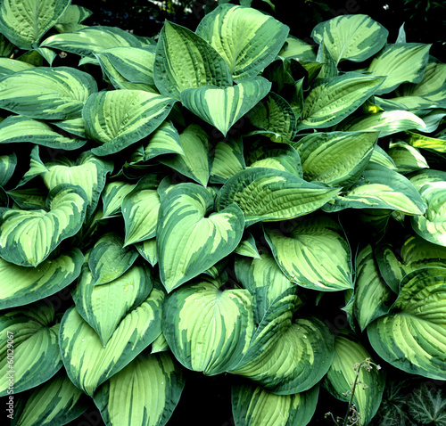 canvas print picture Funkie, Hosta