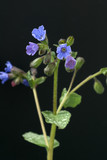 Lungenkraut, Pulmonaria, officinalis, Bodendecker,