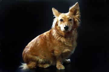 cane italiano 2426