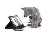 Fototapety Ridgeback puppy with tablet computer