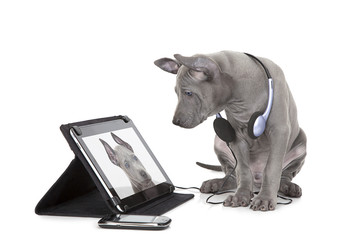 Ridgeback puppy with tablet computer