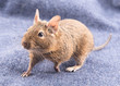 Degu on a blue textile background