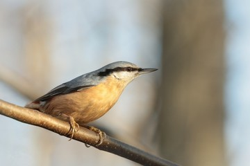 Nuthatch (Sitta europaea) on a twig in the morning