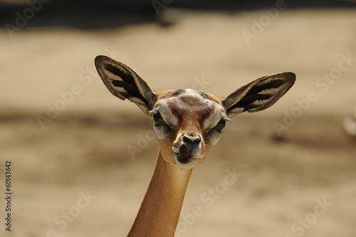 Staande foto Antilope Gerenuk