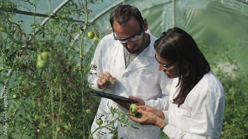 scientists making research on tomatoes in the greenhouse
