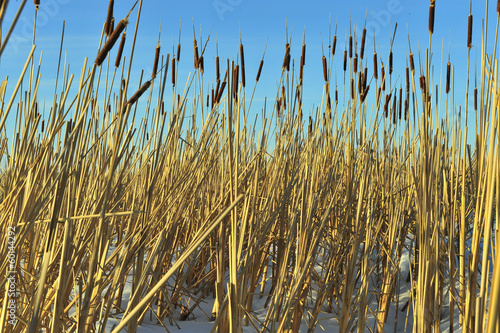 Reed on snow-covered