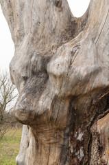 big tree stump wood without bark