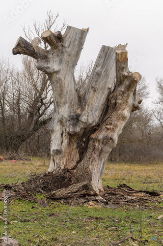 big tree stump wood without bark