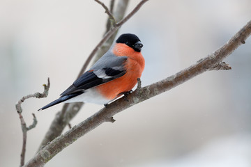 Bullfinch in winter day