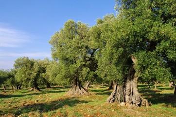 Olivenhain - olive grove 41