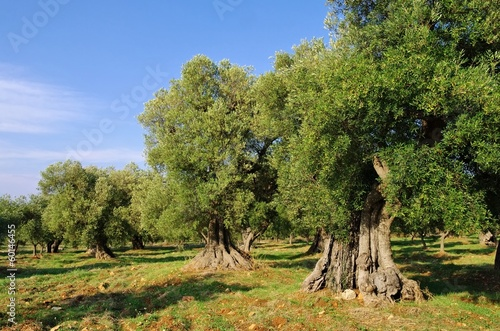 Foto op Canvas Olijfboom Olivenhain - olive grove 41