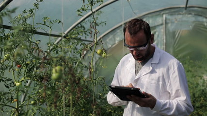 scientist with tablet checking the tomato in the greenhouse
