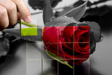 Restoring the beauty of a red rose