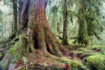 Giant Red Cedar Tree Stump Moss Covered Growth Hoh Rainforest