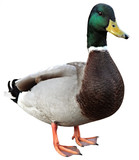 Mallard Duck with clipping path. Colourful mallard duck isolated