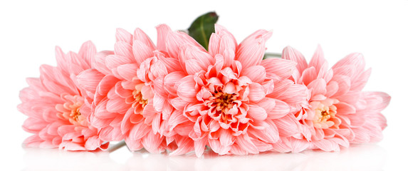 Pink chrysanthemums isolated on white