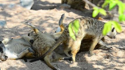 Meerkat Playing