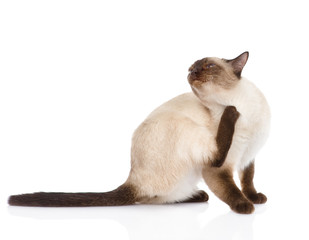Domestic cat scratching. isolated on white background